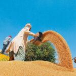 Wheat-MSP-Hikes